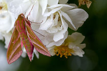 Elephant Hawk Moth on a wild Rose von mbk-wildlife-photography