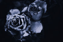 Cold blue roses by photo-chris