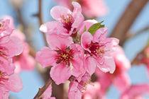 peach flowers von bruno paolo benedetti