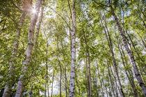Birkenwald im Frühling von Beate Zoellner