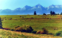 Cows under the High Tatras by Tomas Gregor