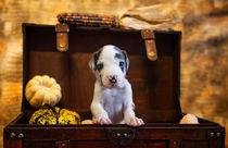 Doggen Welpe / 4 von Heidi Bollich