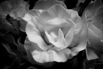 Yellow rose in black and white by Gema Ibarra