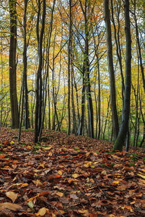 Autumn Beech Leaves  by David Tinsley