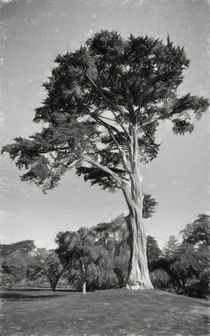 Cypress Tree In Golden State Park Black And White by John Bailey