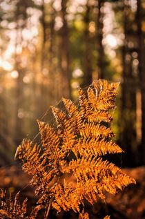 Autumn Fern by Jeremy Sage