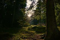 Sonne im Wald by Monika Haarpaintner