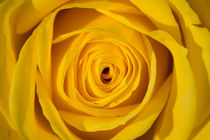 Yellow Rose by George Kay