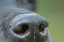 Black-nose