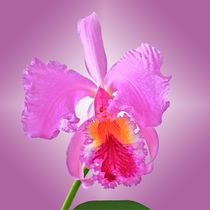 Orchidee Laelia Cattleya - orchid by monarch