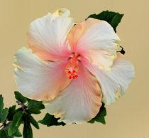 Eibisch - Hibiskus - Hibiscus von monarch