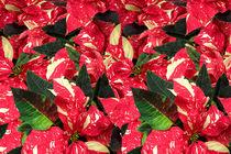 Poinsettia-dot-1662-dot-3-1b-dot-ss
