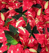 Weihnachtsstern - Poinsettia by monarch