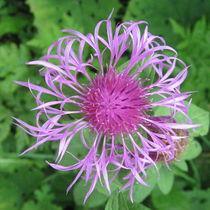 Bergflockenblume by Susanne Winkels