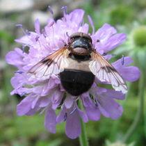 Biene auf Witwenblume von Susanne Winkels