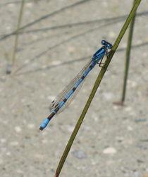 Blaue Libelle von Susanne Winkels