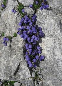 Lebende Steine - Alpenglöckchen von Susanne Winkels