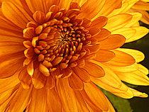 Sunlight Chrysanthemum by Kelly Martin
