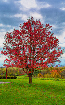 Bright Red Maple Tree by John Bailey
