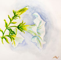 White petunia flowers. Watercolor by valenty
