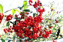 Red Berries 1 by Dan Richards