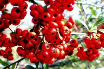 Berries 2 by Dan Richards