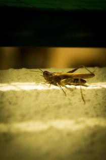 Green Grasshopper by Gema Ibarra