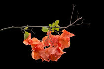 Orange Color Bougainvillea von Christina Rahm