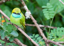 Green Bee-Eater Merops orientalis by Christina Rahm