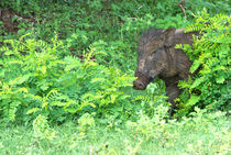 Wild boar peeping out by Christina Rahm