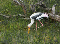 Sri Lanka painted stork by Christina Rahm