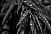 Bambus-fargesia-100swb-6000