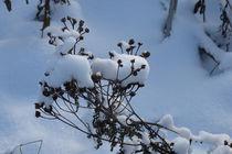 Schneemützen im Garten von Heike Nedo