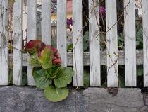 Bergenie vor und hinter dem Zaun von Heike Nedo
