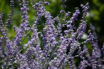 lavender by meleah