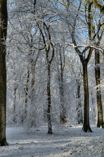 Snowy Beech Woods - II by David Tinsley