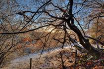 Sunlit Beech von David Tinsley