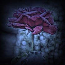 Purple Rose by Carmen Wolters