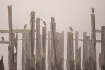 Weathered wooden pilings along waterfront in Puget Sound with herons sitting on beam by Jim Corwin