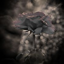 Dark Rose by Carmen Wolters