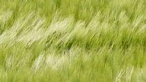 Wogendes Getreidefeld by Thomas Haas