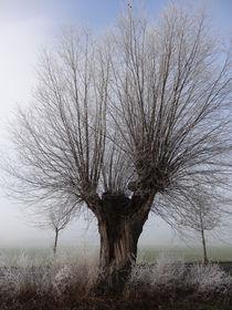 Weide im Wintergewand von Antje Püpke