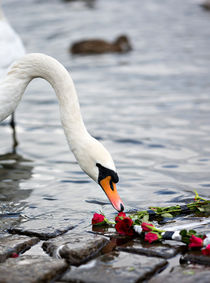 Red Roses and the Swan by Evgeny Govorov