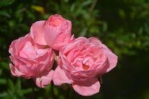 Rosen von Ute Bauduin