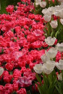 Tulpen von Ute Bauduin