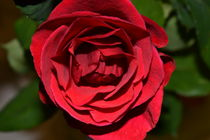 Rosenblüte by Ute Bauduin