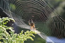 Spinnennetz by Ute Bauduin