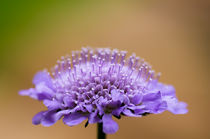 Scabiosa Butterfly Blue by Engeline Tan