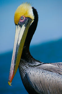 Portrait of a Brown Pelican by Engeline Tan
