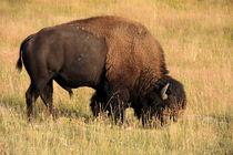 American Bison by Aidan Moran